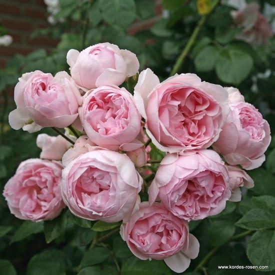 Růže Cinderella