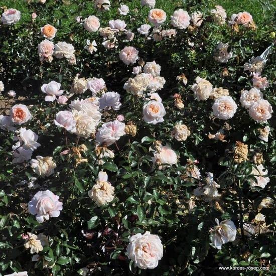 Růže Grossherzogin Luise