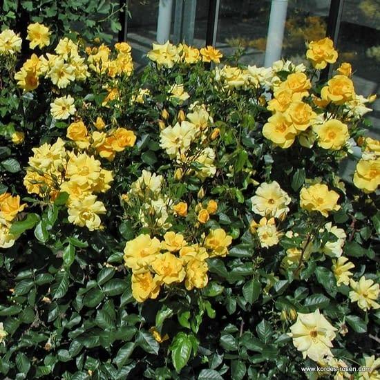 Růže Goldmarie 82