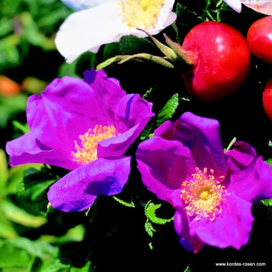 Růže Rugosa