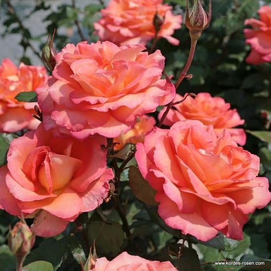 Růže Fairest Cape