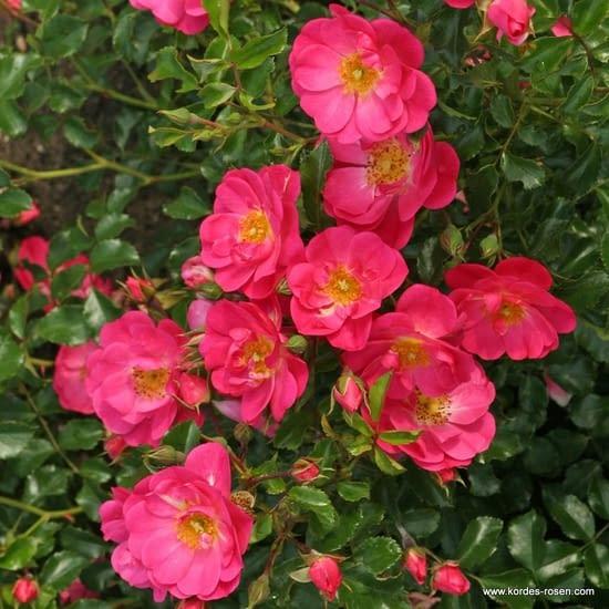 Růže Neon