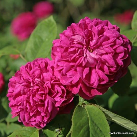 Růže Rose de Resht