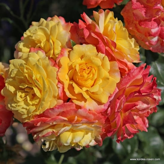 Růže Rose der Hoffnung
