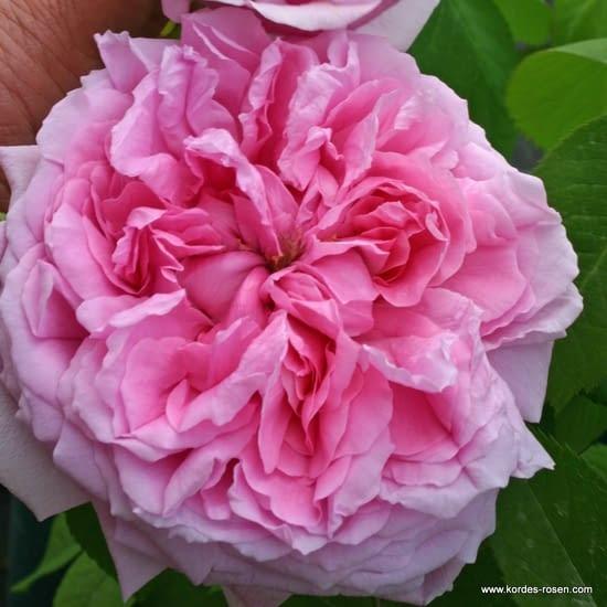 Růže Madame Boll