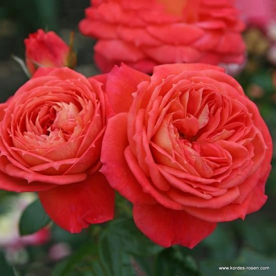 Růže Queen of Hearts