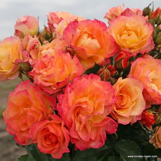 Růže LandLust