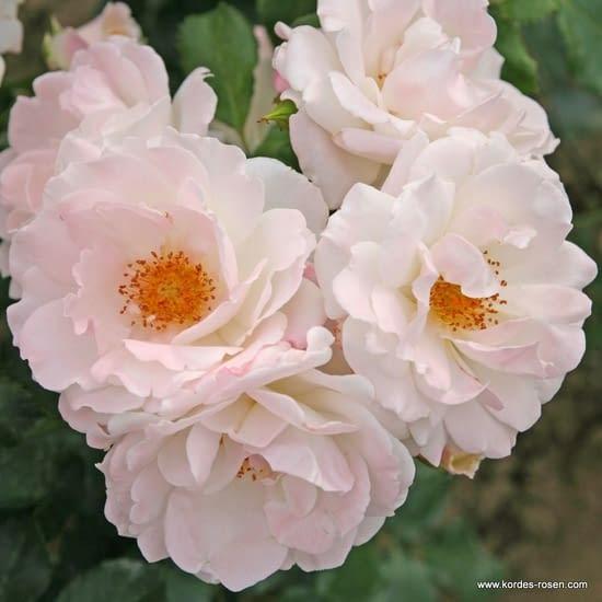 Růže Eisprinzessin