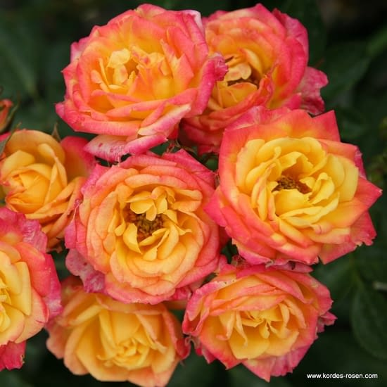 Růže Little Sunset