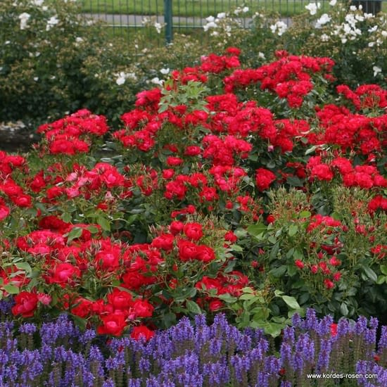 Růže Black Forest Rose