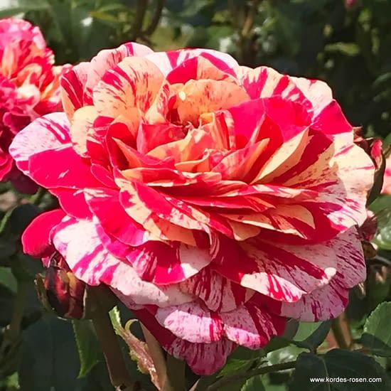 Růže Abracadabra
