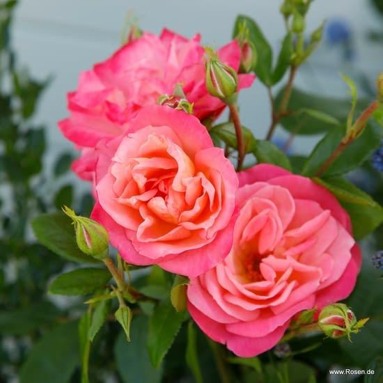 Růže Enjoy