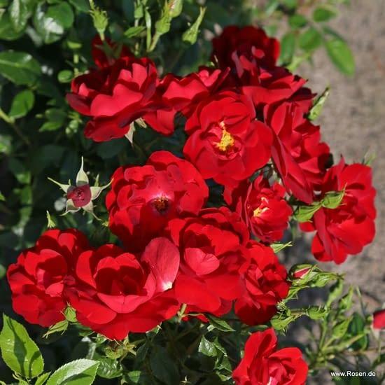 Růže Cayenne