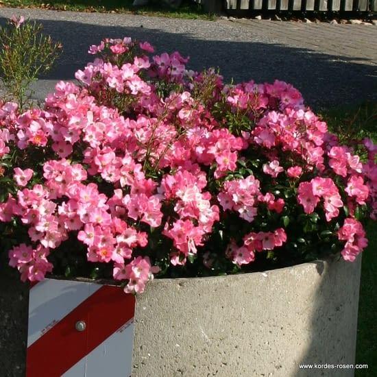 Růže Fortuna