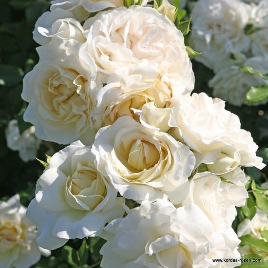 Růže Kosmos