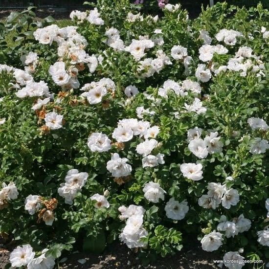 Růže White Roadrunner