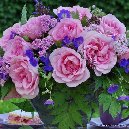 Růže Sweet Parole