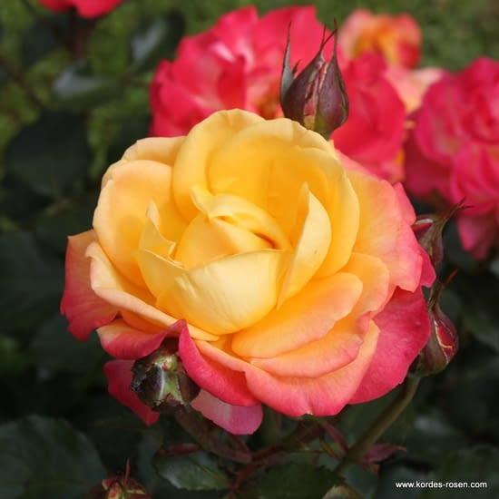 Růže Flaming Star