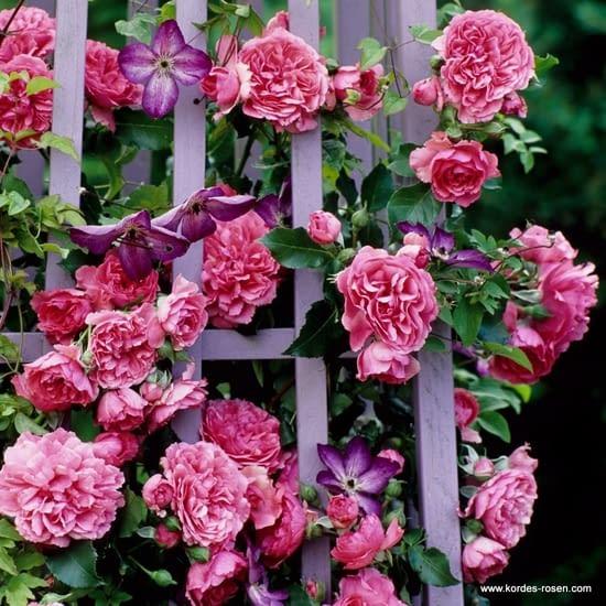 Růže Rosarium Uetersen