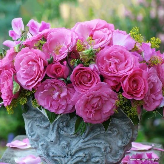 Růže Eliza
