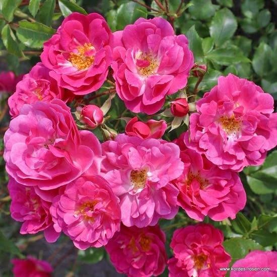 Růže Pink Emely