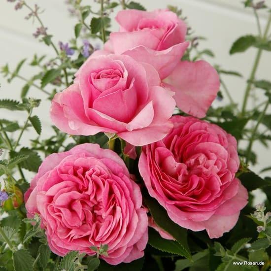 Růže Königin Marie