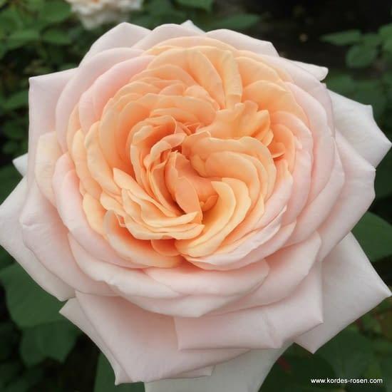 Růže Courage