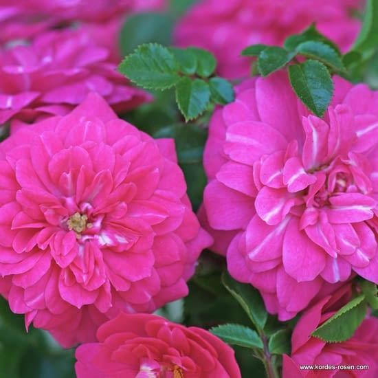 Růže Knirps