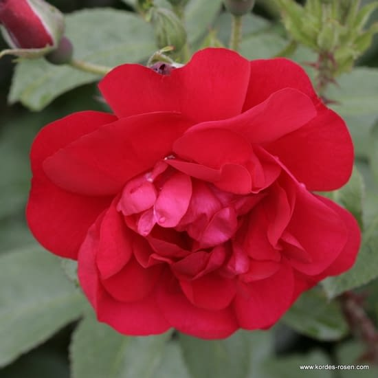 Růže Hansaland