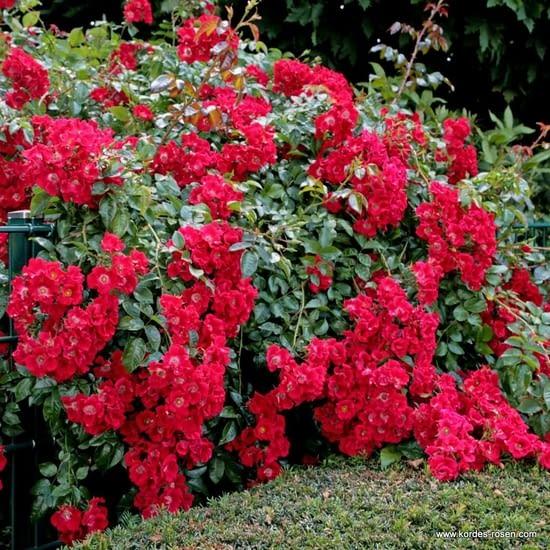Růže Sommerabend