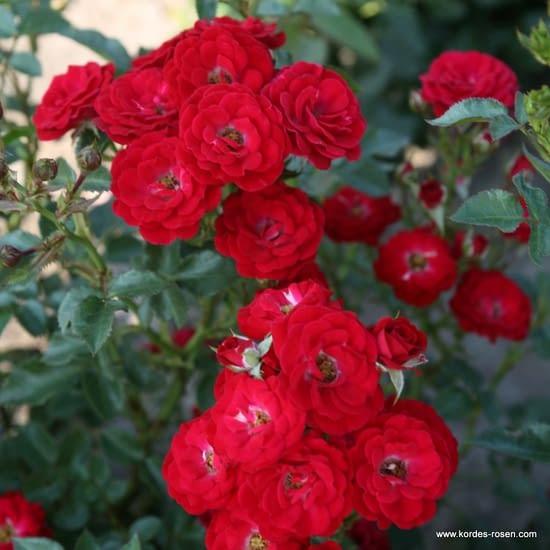 Růže Mandy
