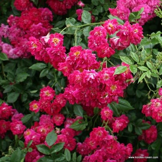 Růže Super Excelsa