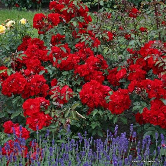 Růže Roter Korsar