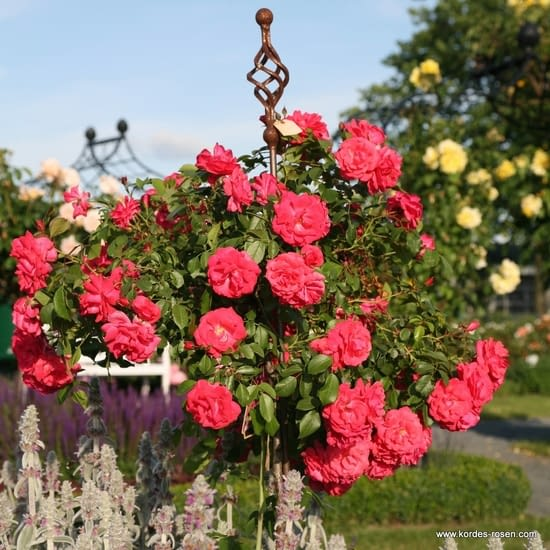 Růže Bad Birnbach