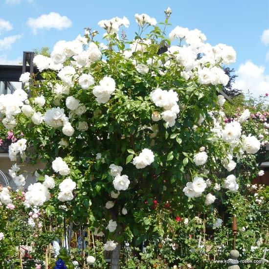 Růže Schneewitchen