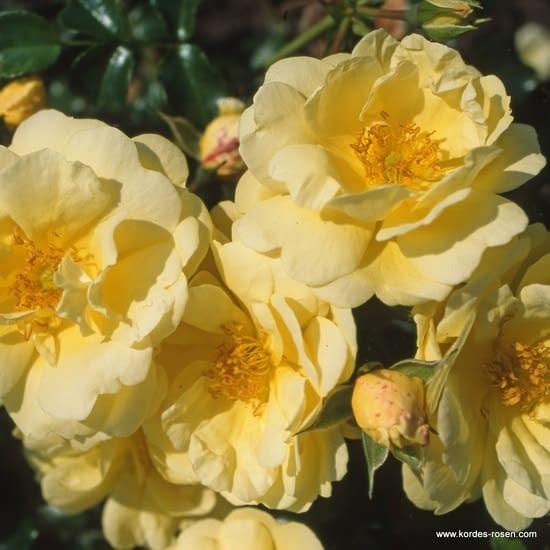 Růže Sunny Rose