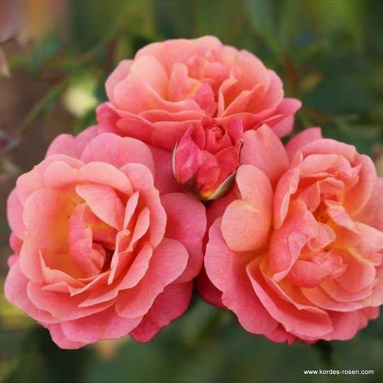 Růže Peach Melba