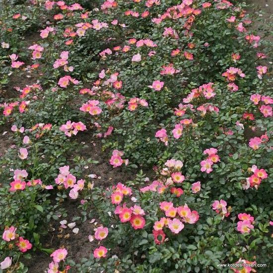Růže Topolina