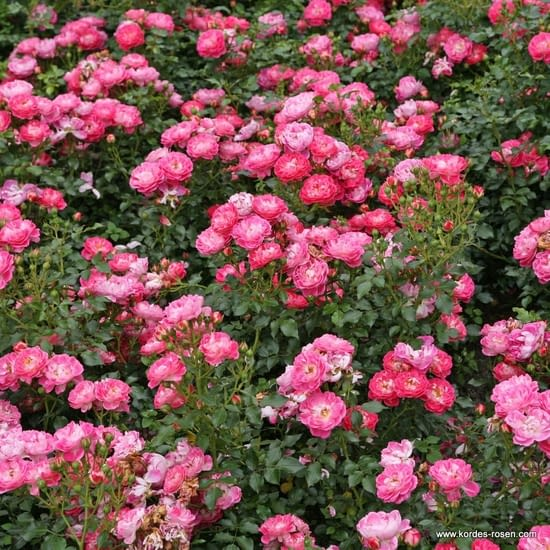 Růže Charmant