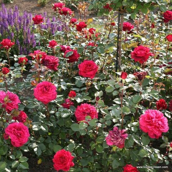 Růže Bellevue