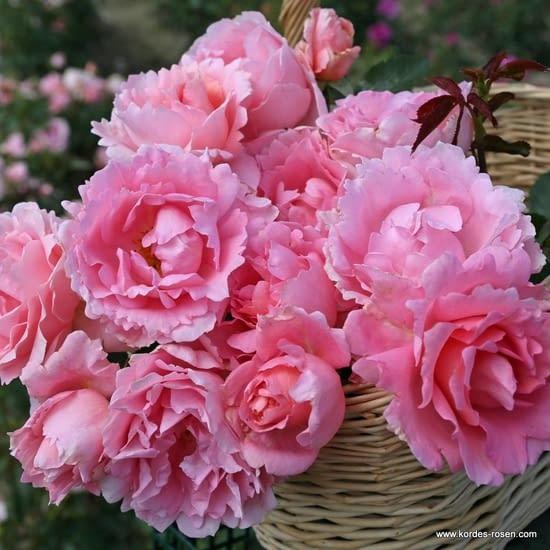 Růže Poetry