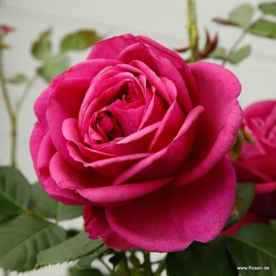 Růže Für Elise