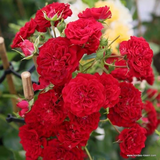 Růže Crimson Siluetta
