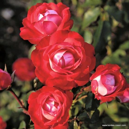 Růže Planten un Blomen