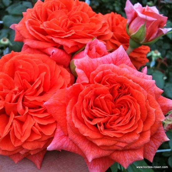 Růže Orangerie