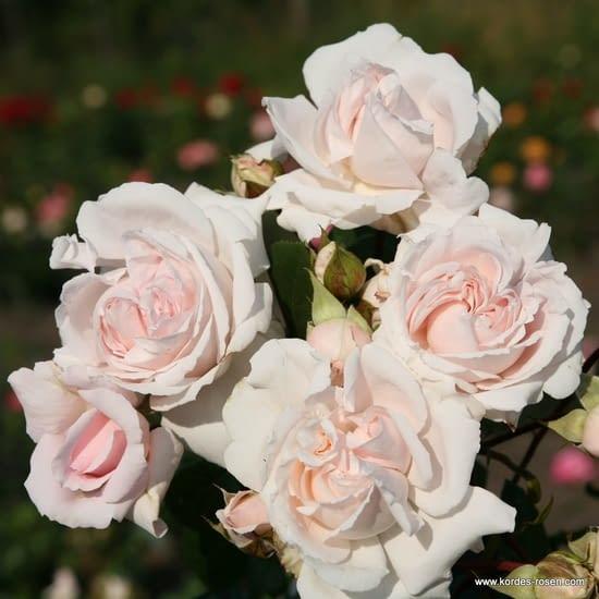 Růže Constanze Mozart