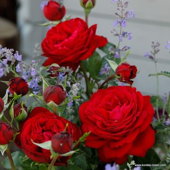 Růže Tiamo