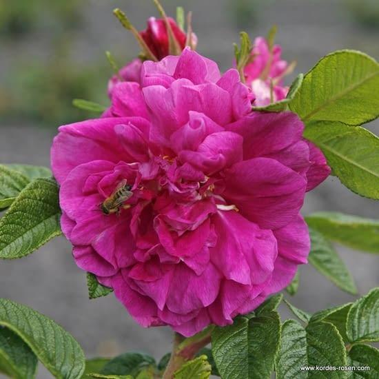 Růže Hansa