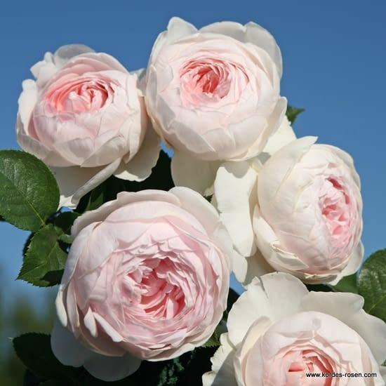 Růže Herzogin Christiana