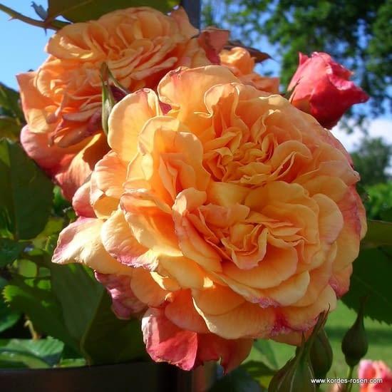 Růže Aloha